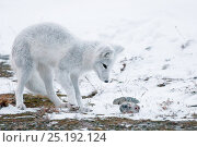 Купить «Arctic fox (Vulpes lagopus) in winter fur, with dead lemming prey, Wrangel Island, Far Eastern Russia, October.», фото № 25192124, снято 27 мая 2019 г. (c) Nature Picture Library / Фотобанк Лори
