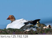 Купить «Snow goose (Chen caerulescens caerulescens) with rusty orange face from iron rich soil in which it forages. With newly hatched chick, Wrangel Island, Far Eastern Russia, June.», фото № 25192128, снято 23 октября 2018 г. (c) Nature Picture Library / Фотобанк Лори