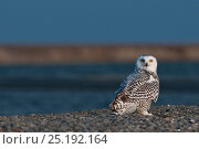 Купить «Snowy owl (Bubo scandiacus) on ground at coast, Wrangel Island, Far Eastern Russia, August.», фото № 25192164, снято 17 декабря 2018 г. (c) Nature Picture Library / Фотобанк Лори