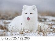 Купить «Arctic fox (Vulpes lagopus) in winter fur, licking nose, Wrangel Island, Far Eastern Russia, October.», фото № 25192200, снято 24 июня 2019 г. (c) Nature Picture Library / Фотобанк Лори