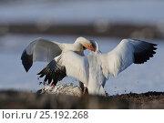 Купить «Snow geese (Chen caerulescens caerulescens) fighting, Wrangel Island, Far Eastern Russia, May.», фото № 25192268, снято 19 сентября 2019 г. (c) Nature Picture Library / Фотобанк Лори