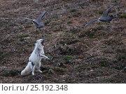 Купить «Long-tailed jaegers (Stercorarius longicaudus) mobbing Arctic fox (Vulpes lagopus) Wrangel Island, Far Eastern Russia, June.», фото № 25192348, снято 21 апреля 2019 г. (c) Nature Picture Library / Фотобанк Лори