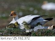 Купить «Snow goose (Chen caerulescens caerulescens) on nest with chicks, Wrangel Island, Far Eastern Russia, June.», фото № 25192372, снято 27 мая 2019 г. (c) Nature Picture Library / Фотобанк Лори