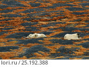Купить «Polar bears (Ursus maritimus) resting, one playing with skull. Wrangel Island, Far Eastern Russia, September.», фото № 25192388, снято 23 января 2019 г. (c) Nature Picture Library / Фотобанк Лори