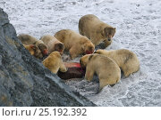 Купить «Group of Polar bears (Ursus maritimus) feeding on Walrus carcass at base of cliff, Wrangel Island, Far Eastern Russia, September.», фото № 25192392, снято 17 октября 2019 г. (c) Nature Picture Library / Фотобанк Лори