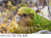 Купить «'Sinbad' the male Kakapo (Strigops habroptilus) portrait, Codfish Island, Stewart Island, New Zealand, January. Critically endangered.», фото № 25192428, снято 5 июля 2020 г. (c) Nature Picture Library / Фотобанк Лори
