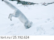 Купить «Arctic fox (Vulpes lagopus) in winter fur hunting for lemmings, Wrangel Island, Far Eastern Russia, October.», фото № 25192624, снято 27 мая 2019 г. (c) Nature Picture Library / Фотобанк Лори