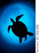 Купить «RF- Silhouette of large male Hawksbill turtle (Eretmochelys imbricata) swimming in open water above coral reef. Boo West, Misool, Raja Ampat, West Papua...», фото № 25192656, снято 15 июля 2020 г. (c) Nature Picture Library / Фотобанк Лори