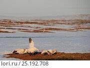 Купить «Snow goose (Chen caerulescens caerulescens) mobbing Arctic fox (Vulpes lagopus) trying to steal eggs, Wrangel Island, Far Eastern Russia, May.», фото № 25192708, снято 17 июня 2019 г. (c) Nature Picture Library / Фотобанк Лори