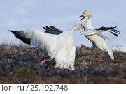 Купить «Snow geese (Chen caerulescens caerulescens) fighting, Wrangel Island, Far Eastern Russia, June.», фото № 25192748, снято 20 октября 2018 г. (c) Nature Picture Library / Фотобанк Лори
