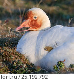 Купить «Snow goose (Chen caerulescens caerulescens) brooding chicks, with rusty orange face from iron rich soil in which it forages. Wrangel Island, Far Eastern Russia, June.», фото № 25192792, снято 20 октября 2019 г. (c) Nature Picture Library / Фотобанк Лори