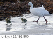 Купить «Snow goose (Chen caerulescens caerulescens) parent with chicks walking across ice, Wrangel Island, Far Eastern Russia, June.», фото № 25192800, снято 24 июня 2019 г. (c) Nature Picture Library / Фотобанк Лори