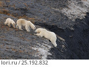 Купить «Polar bear (Ursus maritimus) struggling up a steep slope watched by female with cub, Wrangel Island, Far Eastern Russia, September.», фото № 25192832, снято 23 января 2019 г. (c) Nature Picture Library / Фотобанк Лори
