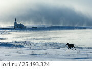 Купить «Moose (Alces alces) at Nesseby church in Arctic sea mist. Nesseby, Varanger-peninsula, Finnmark, Norway. March 2006», фото № 25193324, снято 16 августа 2018 г. (c) Nature Picture Library / Фотобанк Лори