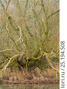 Купить «Crack willow (Salix fragilis) Monsal Dale, Derbyshire, Peak District National Park, England, UK, February.», фото № 25194508, снято 19 июля 2018 г. (c) Nature Picture Library / Фотобанк Лори