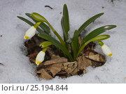 Купить «Spring Snowflake (Leucojum vernum) in snow, Lammer Holz, Brunswick, Lower Saxony, Germany, March.», фото № 25194844, снято 23 октября 2019 г. (c) Nature Picture Library / Фотобанк Лори