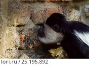 Купить «Eastern Black-and-white Colobus (Colobus guereza) licking a wall for the salts and minerals. Kakamega Forest South, Western Province, Kenya», фото № 25195892, снято 21 января 2020 г. (c) Nature Picture Library / Фотобанк Лори