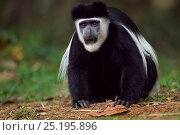 Купить «Eastern Black-and-white Colobus (Colobus guereza) young male feeding on soil for salts and minerals. Kakamega Forest National Reserve, Western Province, Kenya», фото № 25195896, снято 21 января 2020 г. (c) Nature Picture Library / Фотобанк Лори