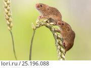 Купить «Harvest mice (Micromys minutus), UK, June, captive.», фото № 25196088, снято 18 августа 2018 г. (c) Nature Picture Library / Фотобанк Лори
