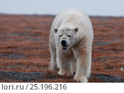 Купить «Polar bear (Ursus maritimus) vocalising, Wrangel Island, Far Eastern Russia, September.», фото № 25196216, снято 15 октября 2018 г. (c) Nature Picture Library / Фотобанк Лори
