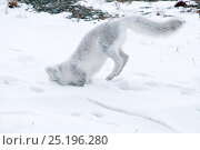 Купить «Arctic fox (Vulpes lagopus) in winter fur hunting for lemmings, Wrangel Island, Far Eastern Russia, October.», фото № 25196280, снято 21 января 2019 г. (c) Nature Picture Library / Фотобанк Лори