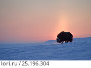 Купить «Musk ox (Ovibos moschatus) at sunset, Wrangel Island, Far Eastern Russia.», фото № 25196304, снято 28 декабря 2018 г. (c) Nature Picture Library / Фотобанк Лори