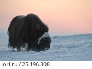 Купить «Musk ox (Ovibos moschatus) at sunset, Wrangel Island, Far Eastern Russia.», фото № 25196308, снято 26 марта 2019 г. (c) Nature Picture Library / Фотобанк Лори