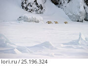 Купить «Polar bear (Ursus maritimus) mother with cubs walking through snow, Wrangel Island, Far Eastern Russia, March.», фото № 25196324, снято 16 октября 2018 г. (c) Nature Picture Library / Фотобанк Лори