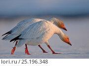 Купить «Snow geese (Chen caerulescens caerulescens) pair walking together, Wrangel Island, Far Eastern Russia, May.», фото № 25196348, снято 20 октября 2018 г. (c) Nature Picture Library / Фотобанк Лори