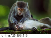 Long-tailed macaques (Macaca fascicularis) grooming.  Bako National Park, Sarawak, Borneo, Malaysia. Стоковое фото, фотограф Anup Shah / Nature Picture Library / Фотобанк Лори