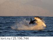 Купить «Great white shark (Carchardon carcharias) predating Cape fur seal (Arctocephalus pusilus) False Bay, South Africa», фото № 25196744, снято 25 мая 2018 г. (c) Nature Picture Library / Фотобанк Лори