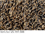 Купить «Close up on the spines, spiny hollow hairs of the  Hedgehog (Erinaceus europaeus) Alsace, France, May.», фото № 25197588, снято 18 ноября 2018 г. (c) Nature Picture Library / Фотобанк Лори