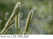 Купить «Grass flowers with pollen blowing in the wind, Vosges, France, July.», фото № 25198260, снято 16 июля 2018 г. (c) Nature Picture Library / Фотобанк Лори