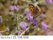 Купить «Small copper butterfly (Lycaena phlaeas) nectaring on Headed thyme / Wild thyme flowers (Thymus capitatus), Vai, Crete, Greece, May.», фото № 25198508, снято 16 октября 2019 г. (c) Nature Picture Library / Фотобанк Лори