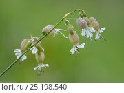 Купить «Bladder campion (Silene vulgaris) flowers, Vosges, France, June.», фото № 25198540, снято 21 июля 2018 г. (c) Nature Picture Library / Фотобанк Лори