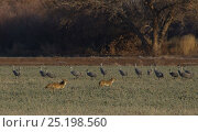 Купить «Greater Sandhill Cranes (Grus canadensis tabida) slowly move away from Coyotes (Canis latrans), Bosque del Apache, New Mexico, USA, December.», фото № 25198560, снято 21 ноября 2019 г. (c) Nature Picture Library / Фотобанк Лори