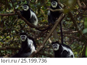 Купить «Eastern Black-and-white Colobus (Colobus guereza) monkeys sitting in a tree. Kakamega Forest National Reserve, Western Province, Kenya», фото № 25199736, снято 14 ноября 2019 г. (c) Nature Picture Library / Фотобанк Лори