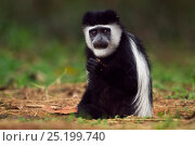 Купить «Eastern Black-and-white Colobus (Colobus guereza) juvenile sitting in a hole feeding on soil for salts and minerals. Kakamega Forest National Reserve, Western Province, Kenya», фото № 25199740, снято 21 января 2020 г. (c) Nature Picture Library / Фотобанк Лори