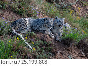 Купить «Snow leopards (Panthera uncia) snarling, Tian Shan / Celestial Mountains, Kyrgyzstan, captive.», фото № 25199808, снято 25 мая 2019 г. (c) Nature Picture Library / Фотобанк Лори