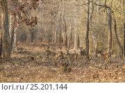 Купить «Bengal Tiger (Panthera tigris tigris) female stalking spotted deer. Tadoba Andheri Tiger Reserve, India. Endangered species», фото № 25201144, снято 25 мая 2018 г. (c) Nature Picture Library / Фотобанк Лори