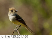 Купить «Galapagos Flycatcher (Myiarchus magnirostris) perched on twig, Santa Cruz Island, Galapagos Islands, Ecuador», фото № 25201160, снято 16 июля 2019 г. (c) Nature Picture Library / Фотобанк Лори
