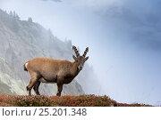 Купить «Alpine Ibex (Capra ibex) young male, in habitat, Reserve Naturelle des Aiguilles Rouges, Chamonix, Haute Savoie, France, Europe, September.», фото № 25201348, снято 7 июня 2020 г. (c) Nature Picture Library / Фотобанк Лори