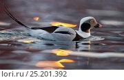 Купить «Male Long tailed duck (Clangula hyemalis) on water, Batsfjord, Norway, March.», фото № 25201392, снято 16 февраля 2019 г. (c) Nature Picture Library / Фотобанк Лори
