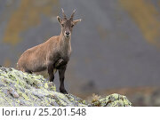 Купить «Alpine Ibex (Capra ibex) female on ridge, Reserve Naturelle des Aiguilles Rouges, Chamonix, Haute Savoie, France, Europe, September.», фото № 25201548, снято 7 июня 2020 г. (c) Nature Picture Library / Фотобанк Лори
