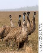 Купить «Emu (Dromaius novaehollandiae) group in habitat, Queensland, Australia.», фото № 25201772, снято 15 октября 2018 г. (c) Nature Picture Library / Фотобанк Лори