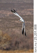 Купить «Snow Geese (Chen caerulescens) turning around a corner, Bosque del Apache, New Mexico, USA, January.», фото № 25201808, снято 13 июля 2020 г. (c) Nature Picture Library / Фотобанк Лори
