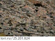 Купить «Rock ptarmigan (Lagopus mutus) in summer plumage, camouflaged on rocks of Altai Mountains, Chuysky Range, Siberia, Russia, August.», фото № 25201824, снято 19 июля 2019 г. (c) Nature Picture Library / Фотобанк Лори