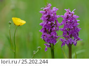 Купить «Early purple orchid (Orchis mascula) Vosges, France, May.», фото № 25202244, снято 19 сентября 2018 г. (c) Nature Picture Library / Фотобанк Лори