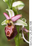 Купить «Hybrid orchid (Ophrys  x arachnitiformis) hybrid of Early spider orchid (Ophrys sphegodes) and the Late spider orchid (Ophrys fuciflora)  Porto Ferraio, Elba, Tuscany, Italy, March.», фото № 25203108, снято 20 апреля 2018 г. (c) Nature Picture Library / Фотобанк Лори