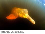 Купить «Pink River dolphin / Boto (Inia geoffrensis) Acajatuba Lake, Negro River, Amazonas, Brazil», фото № 25203380, снято 24 апреля 2019 г. (c) Nature Picture Library / Фотобанк Лори